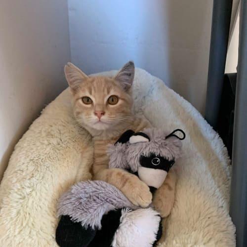 Mr Muffin - Domestic Short Hair Cat