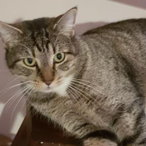 Bobbin - Domestic Short Hair Cat