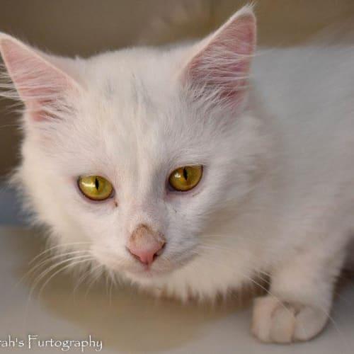 Emilio - Domestic Long Hair Cat
