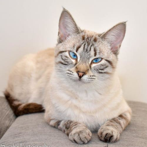 Gianna - Domestic Short Hair Cat