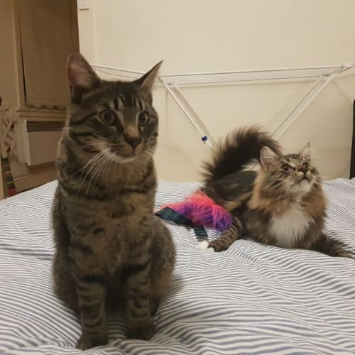 Vasili & Lucero (Located in East Melbourne) - Domestic Medium Hair Cat