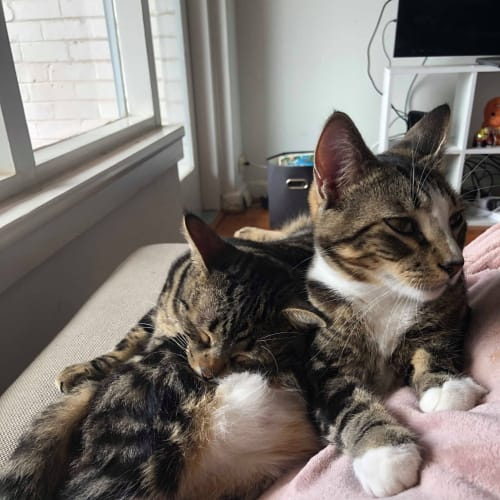 Axton & Edric (Located in Elsternwick) - Domestic Short Hair Cat