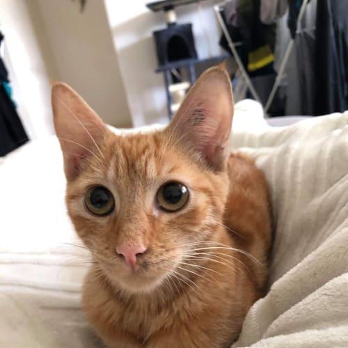 Taj - Domestic Short Hair Cat