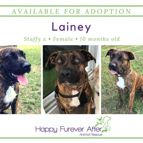 Lainey - Staffordshire Bull Terrier x Bull Arab Dog