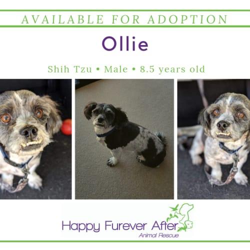 Ollie - Shih Tzu Dog