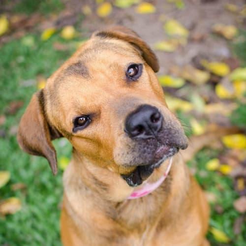 Bear-Lee - Rottweiler Dog