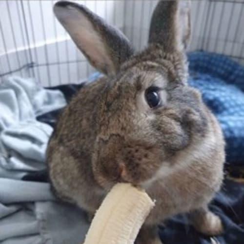 Madame Maxime -  Rabbit