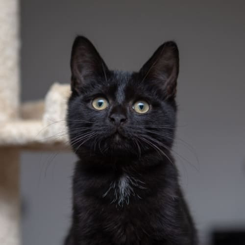 Angel **On Trial With My New Family** - Domestic Short Hair Cat
