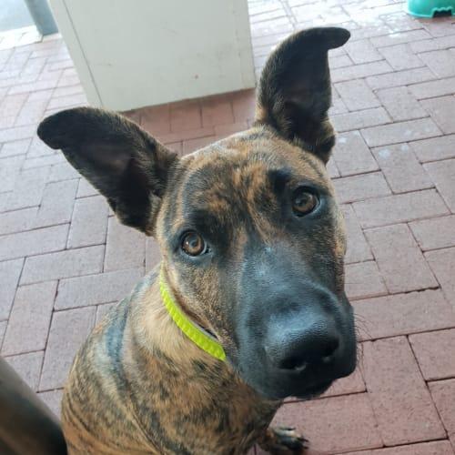 Ziggy DL2218 - Kelpie x Bullmastiff Dog