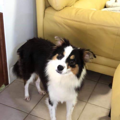 Destiny with Carol  - Border Collie Dog