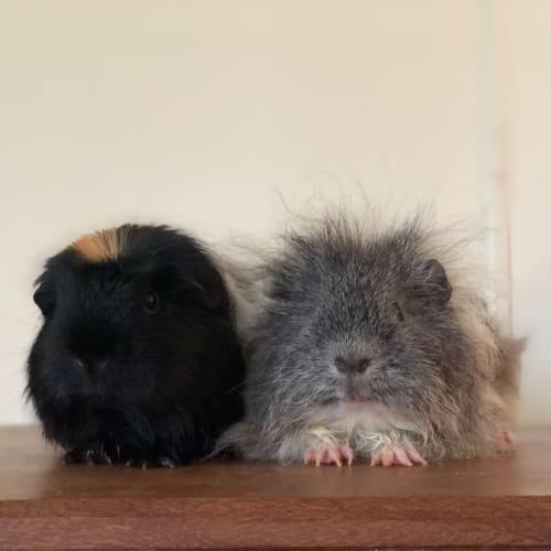 Skippy and Koala  - Texel x Smooth Hair Guinea Pig