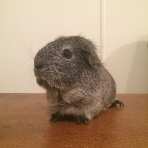 Lavender  - Smooth Hair Guinea Pig