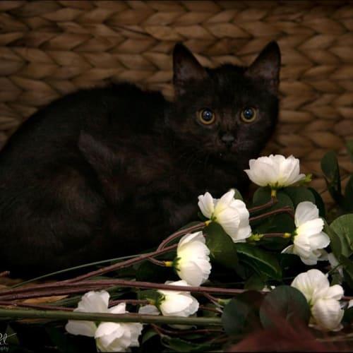 1110 - Loki - Domestic Short Hair Cat