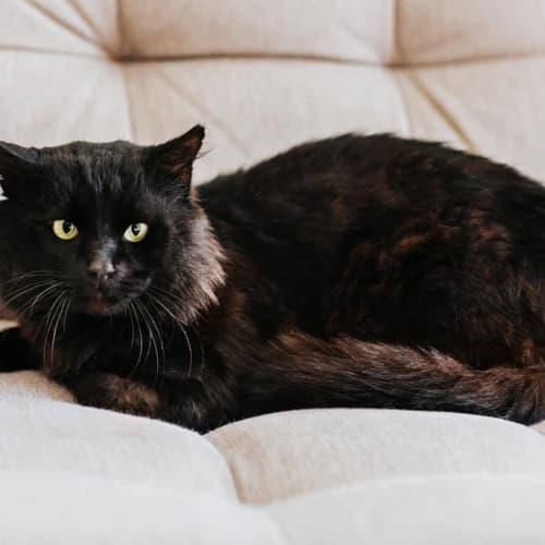 1124 - Skid - Domestic Short Hair Cat