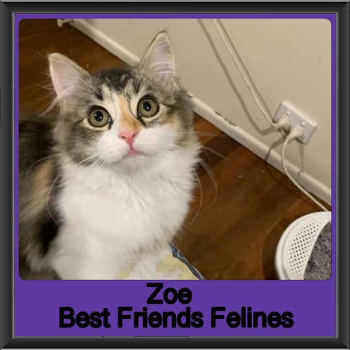Zoe  - Domestic Long Hair Cat