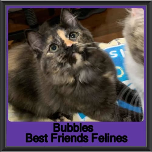Bubbles  - Domestic Long Hair Cat