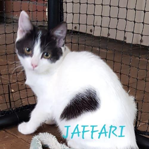 Jaffari - Domestic Short Hair Cat