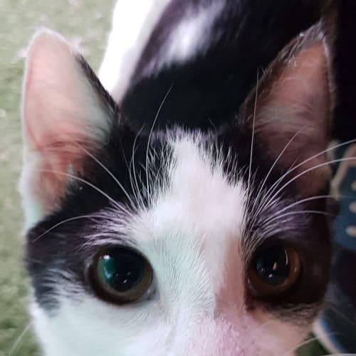 Jazzi - Domestic Short Hair Cat
