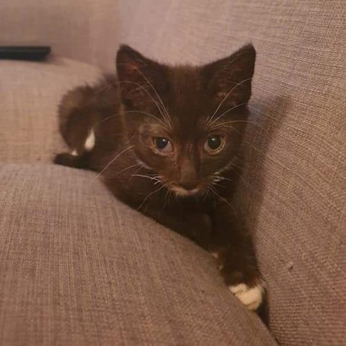 John - Domestic Short Hair Cat