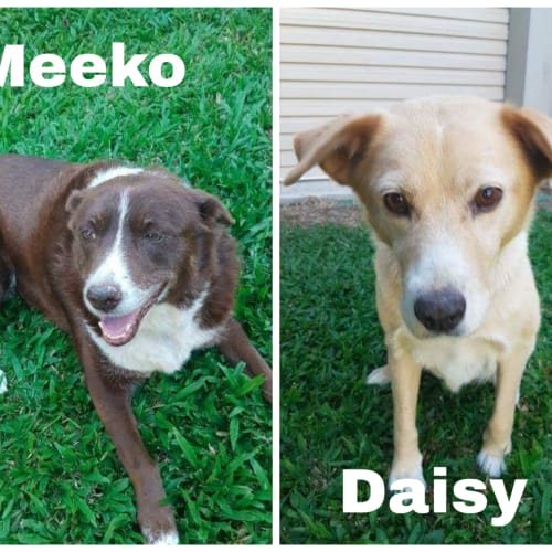 Meeko and Daisy - Border Collie x Kelpie Dog