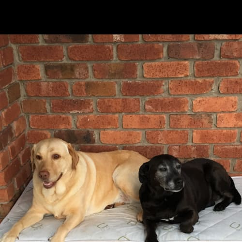Cindy and Fifi - Labrador Dog