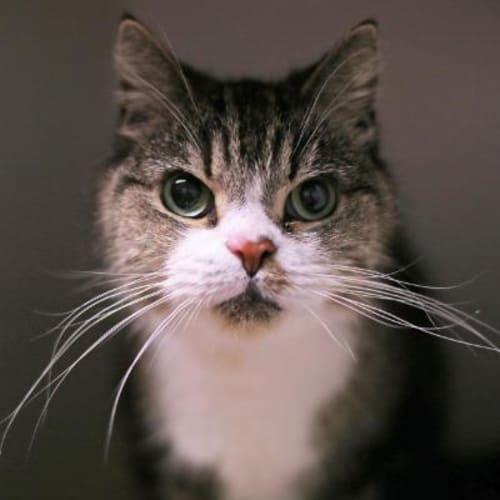 Binks -  Meet me in Cat Lounge/Neko HQ Preston - Domestic Short Hair Cat