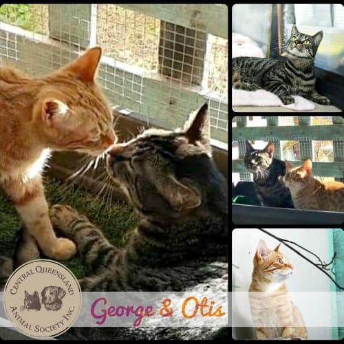 George & Otis - Domestic Short Hair Cat