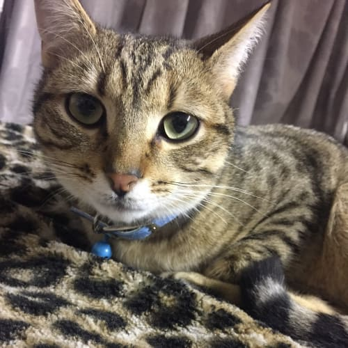 Chase (Located in Chirnside Park) - Domestic Short Hair Cat