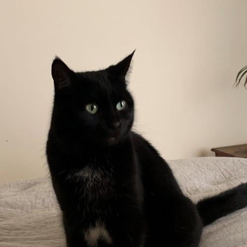 Makeda -  Meet me in Cat Lounge/Neko HQ Preston - Domestic Short Hair Cat