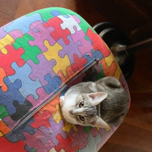 Dusty - Domestic Short Hair Cat