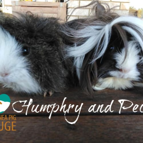Humphry (desexed male) & Pecan - indoor home only - Peruvian x Rex Guinea Pig