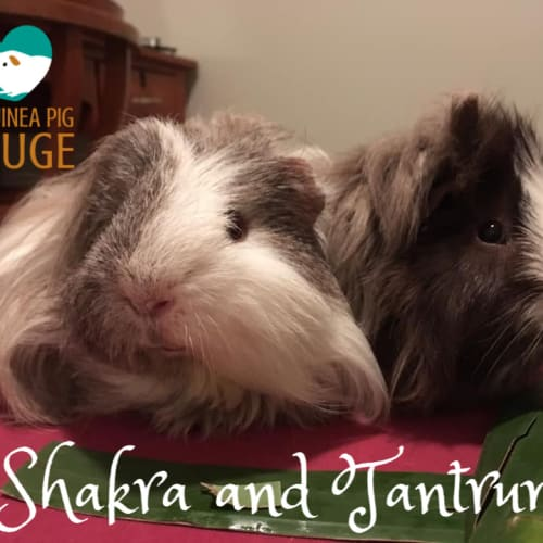 Shakra  and Tantrum - indoor home only -  Guinea Pig
