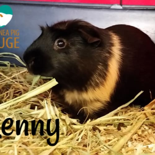 Lenny - Smooth Hair Guinea Pig