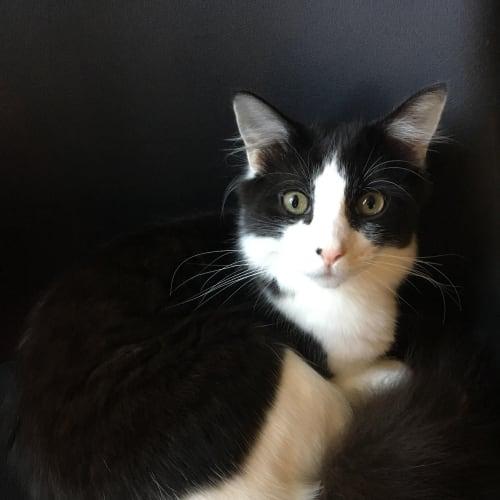 William (Located in Carrum Downs) - Domestic Short Hair Cat