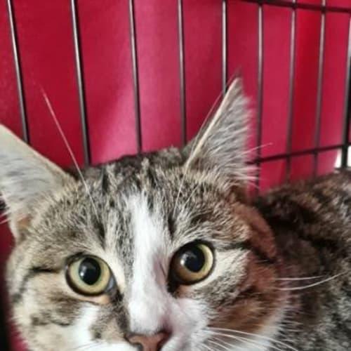Mog - Domestic Short Hair Cat