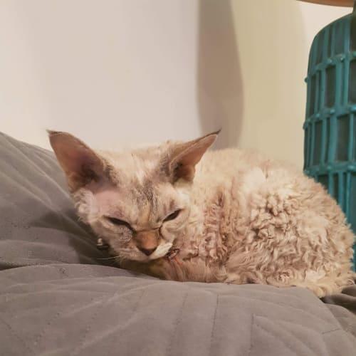Jewel - Devon Rex Cat