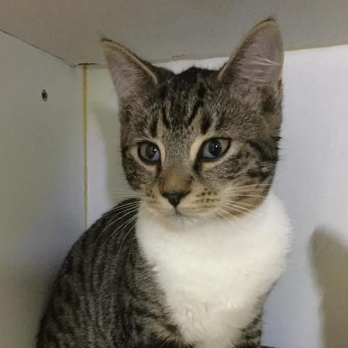 Piper **2nd Chance Cat Rescue** - Domestic Short Hair Cat