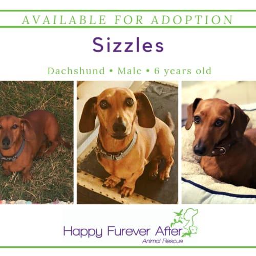 Sizzles - Dachshund Dog
