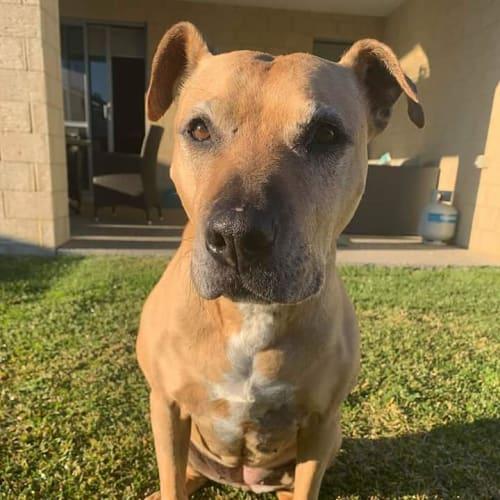 Sandy D0021 - American Staffordshire Bull Terrier Dog