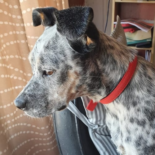 Amari - Boxer x Australian Cattle Dog