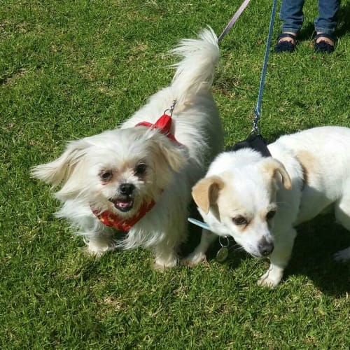 Andy & Bella - Maltese x Jack Russell Terrier Dog