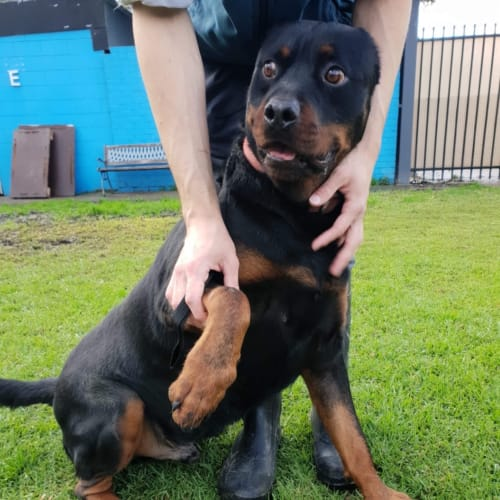 Rusty * Pure Rottweiler* Assisted Re-Home - Rottweiler Dog