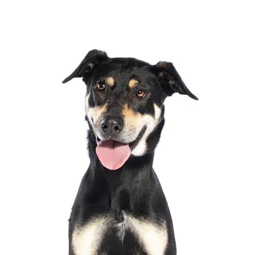 Rani - Doberman x Kelpie Dog