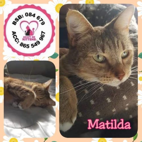 Matilda - Domestic Short Hair Cat