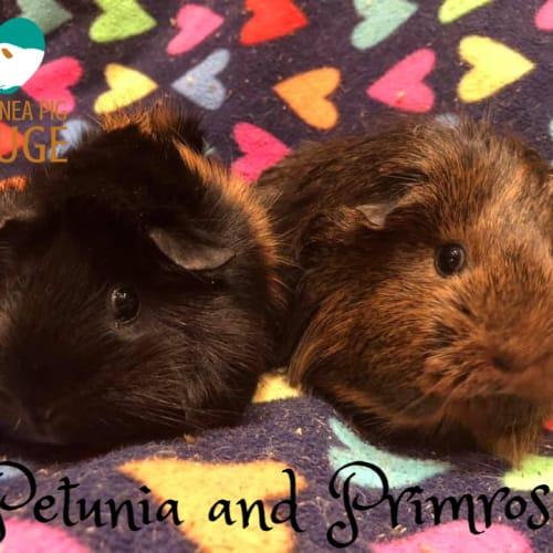 Petunia and Primrose - Sheltie Guinea Pig