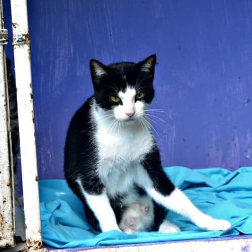 Fiddles - Domestic Short Hair Cat