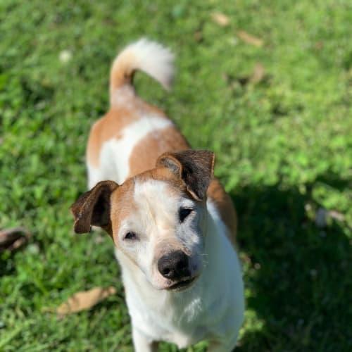 Jamie  - Jack Russell Terrier Dog