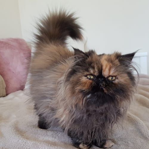 Inaya - Persian Cat