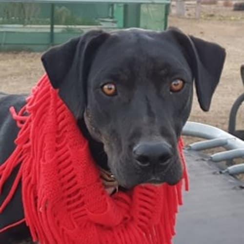 Charles - Bull Arab Dog