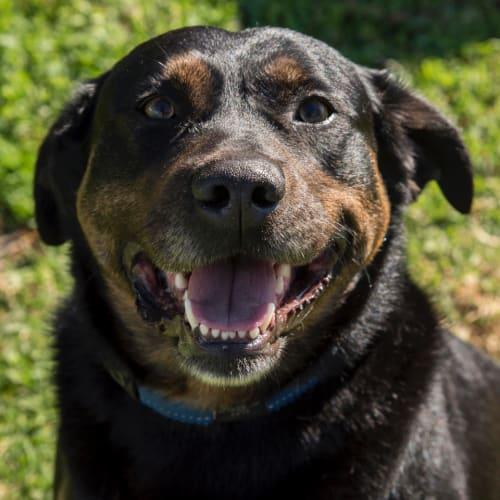 Indi ~ 7 year old Kelpie X Golden Retriever - Kelpie x Golden Retriever Dog